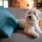 Raça de Cachorro para Apartamento – Conheça 17 opções!